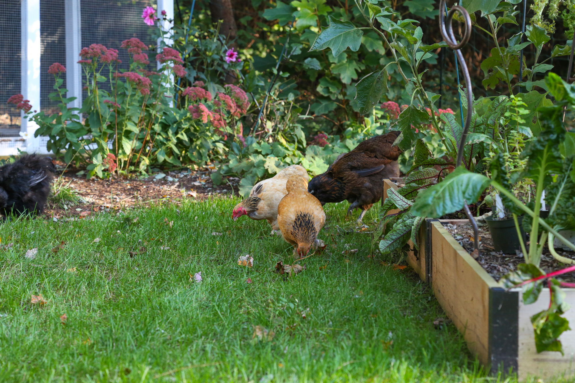 free ranging chickens in the garden