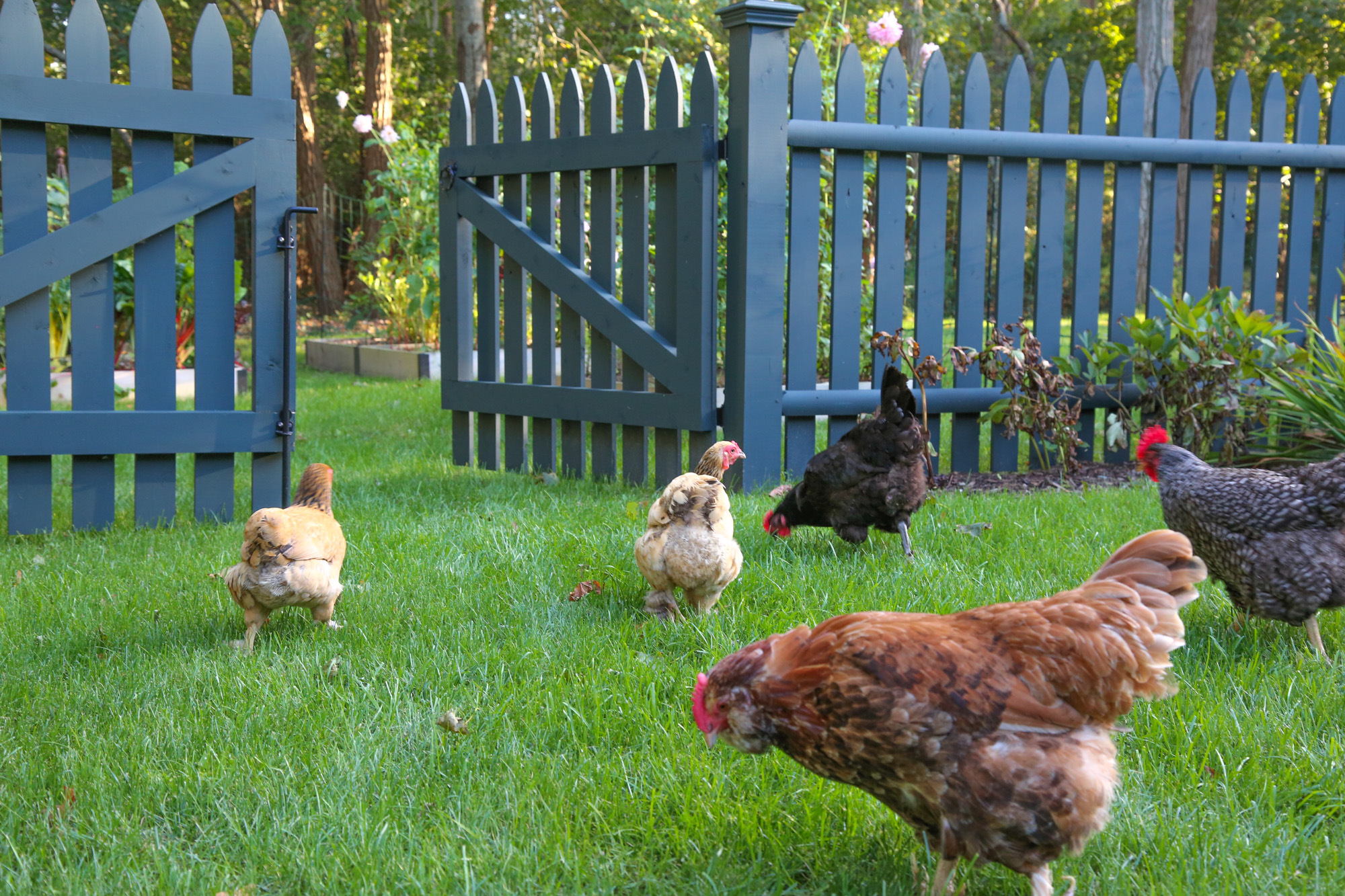 fencing helps to corral free ranging chickens