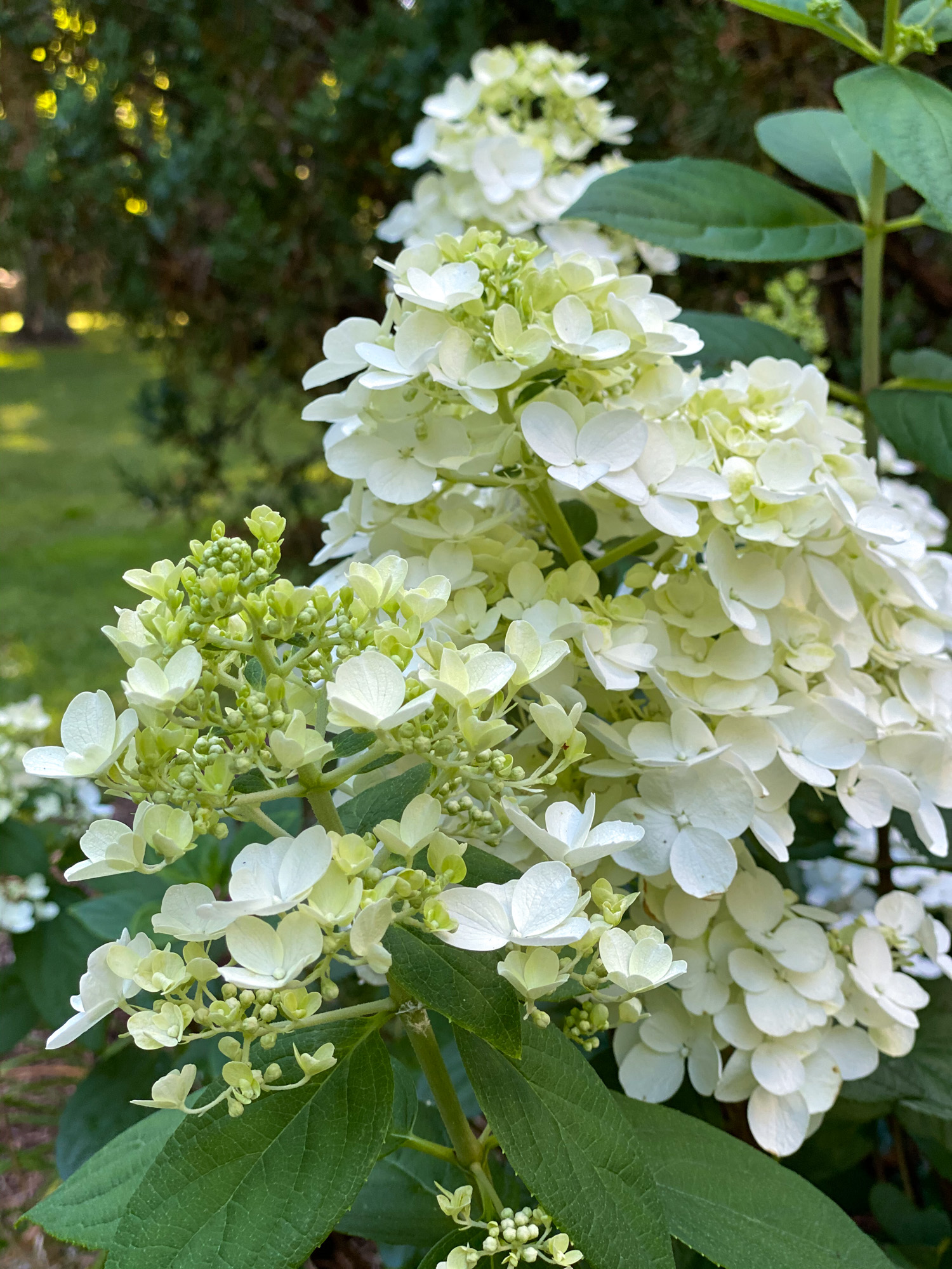 Hydrangea- paniculata