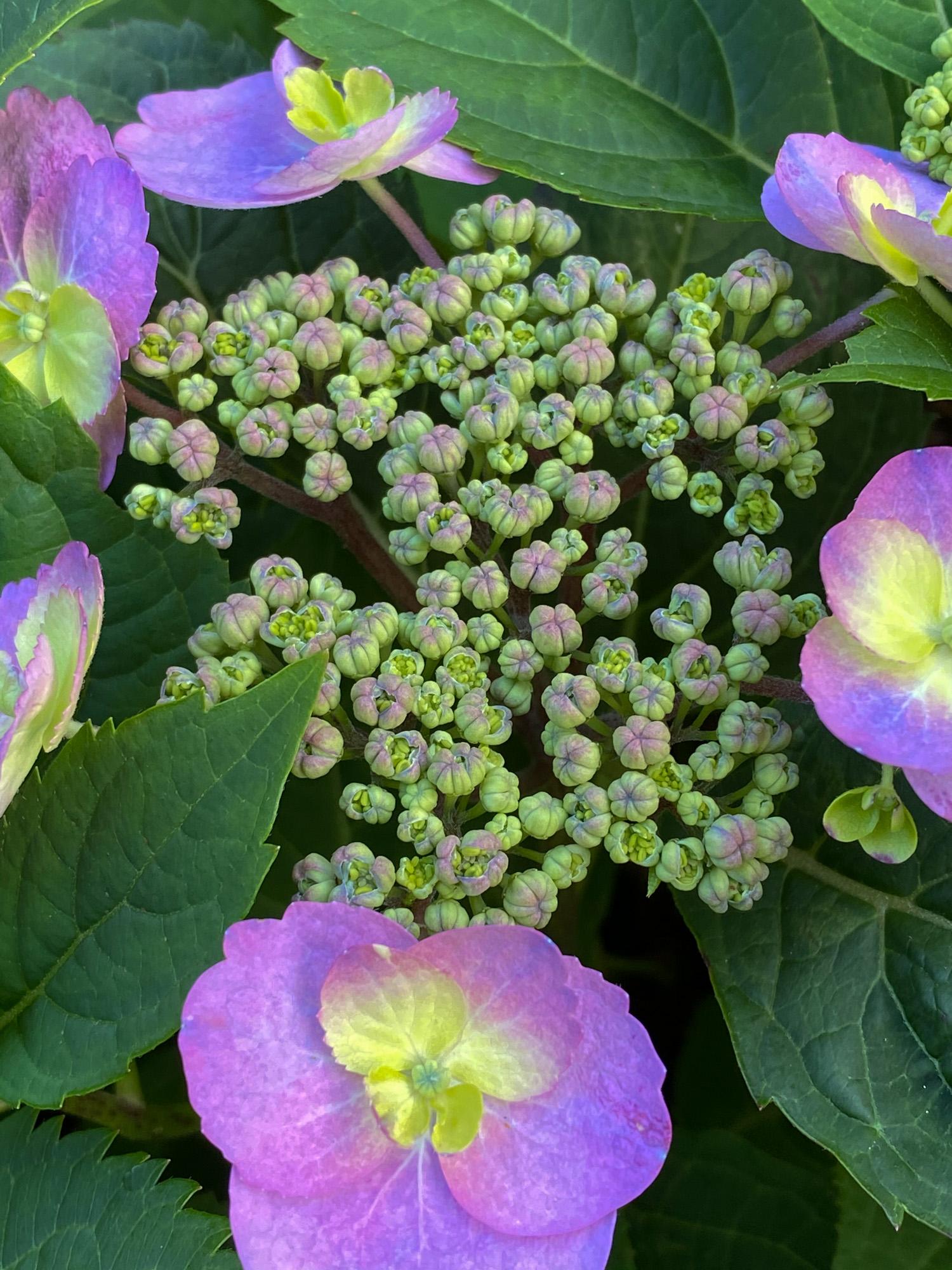 Serrata hydrangea