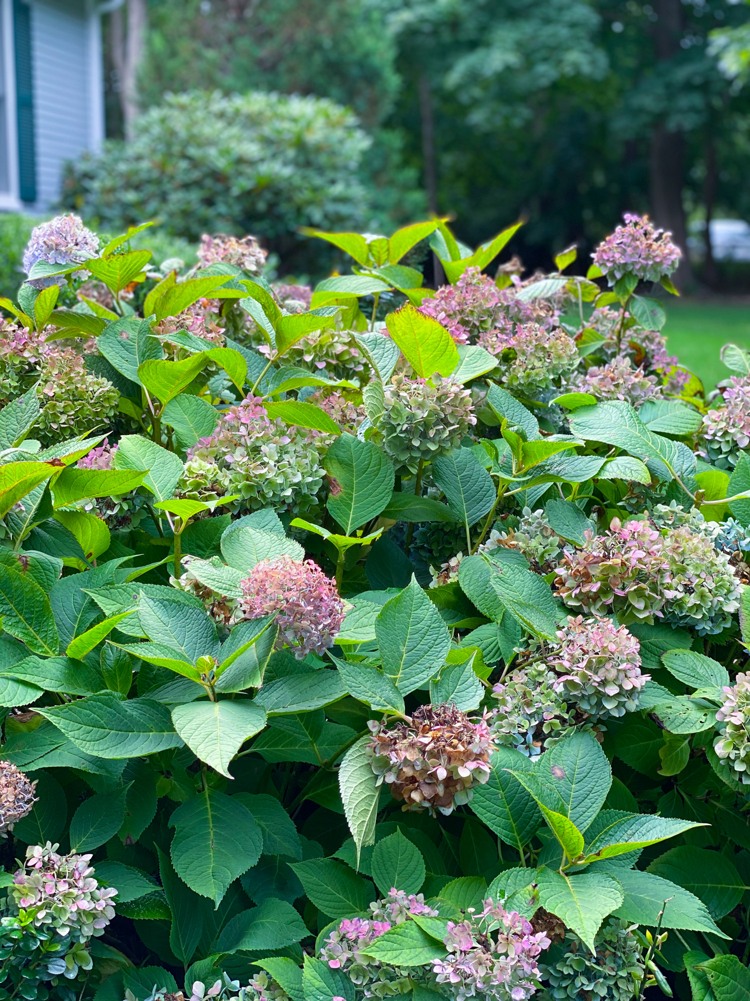 after photo of pruned hydrangea
