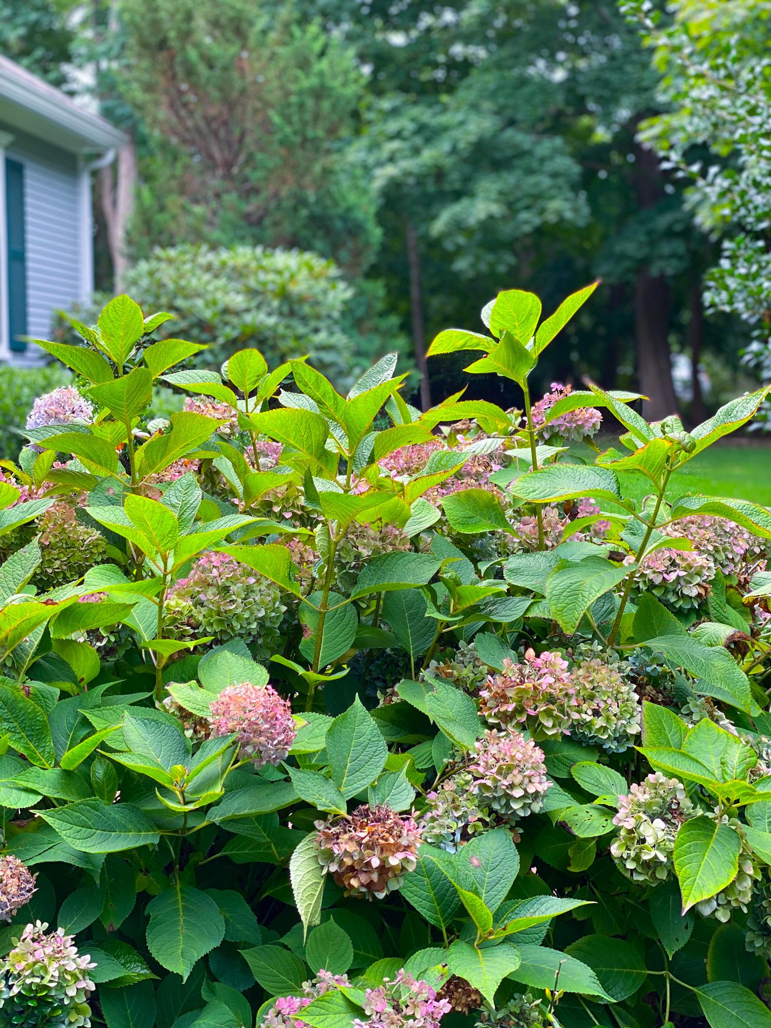Summer hydrangea pruning
