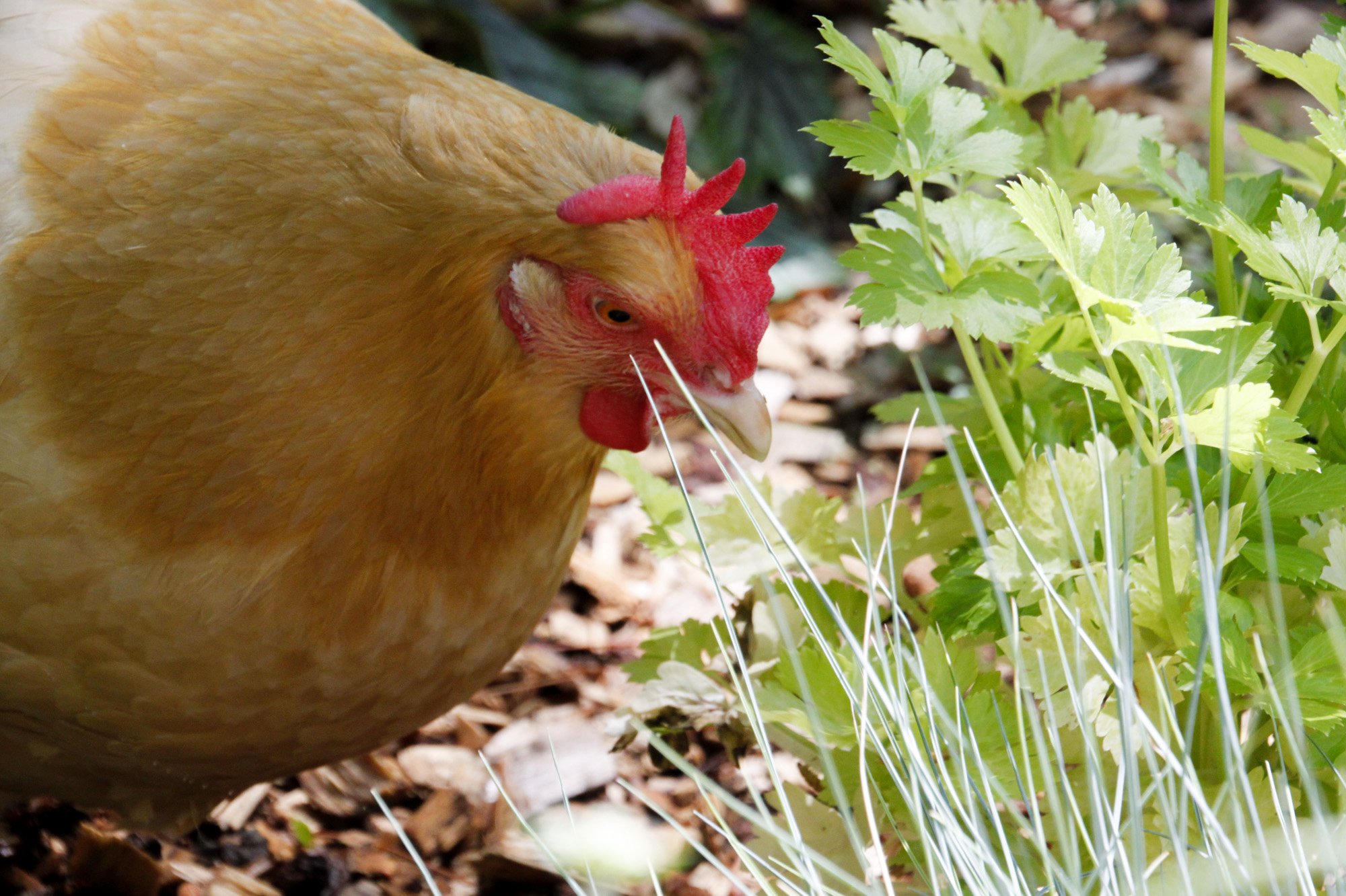 free ranging chicken in the garden admiring parsley