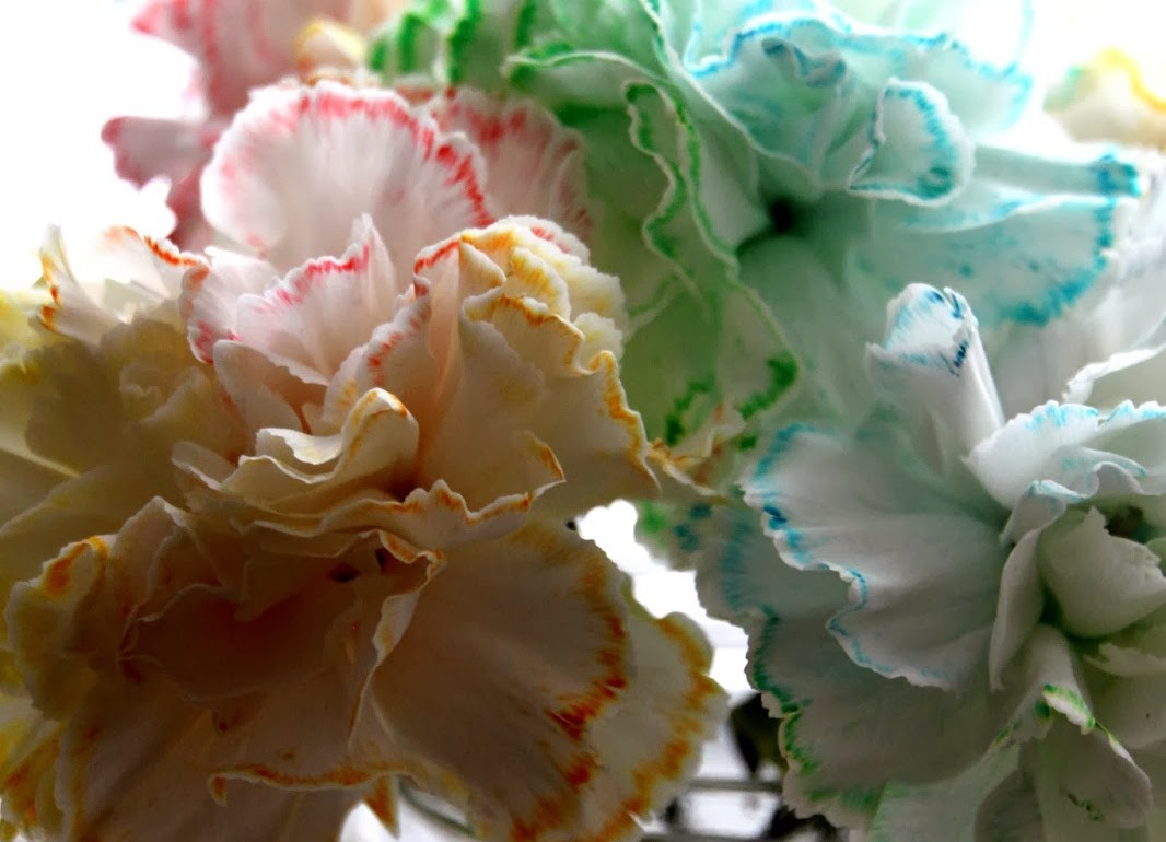 HGTV-MCaughey-coloredcarnations1wp