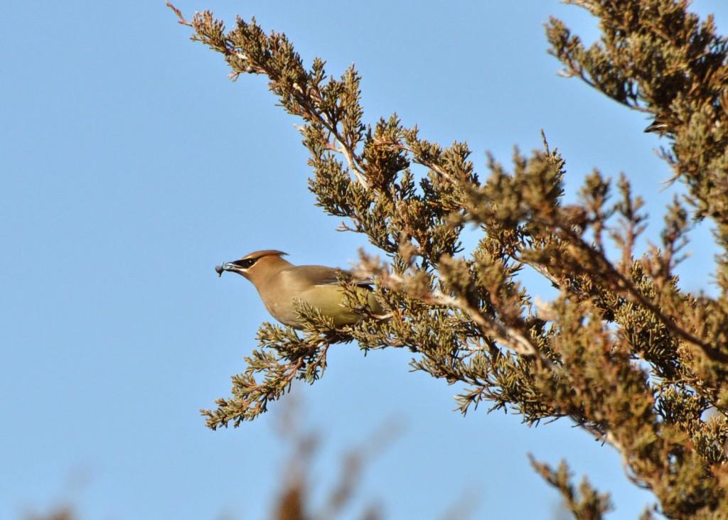 backyard birding P Crosson