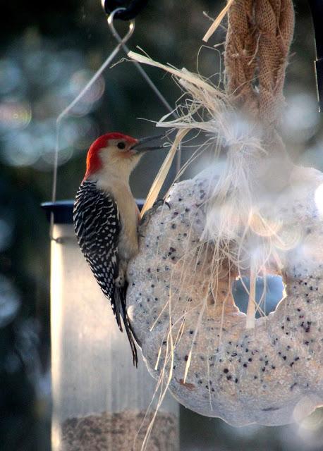 woodpecker on a suet wreath