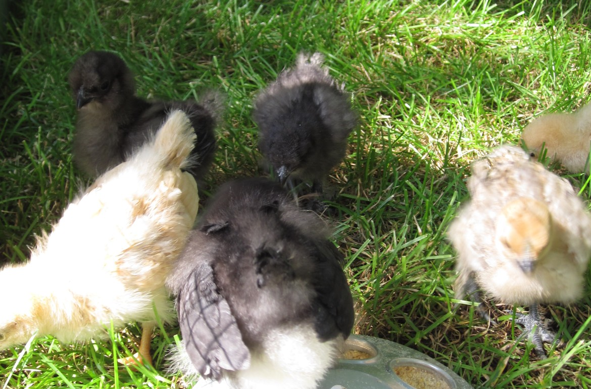 so you want to raise backyard chickens 4 of a 5 part series