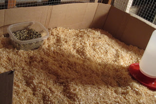 brooder set-up