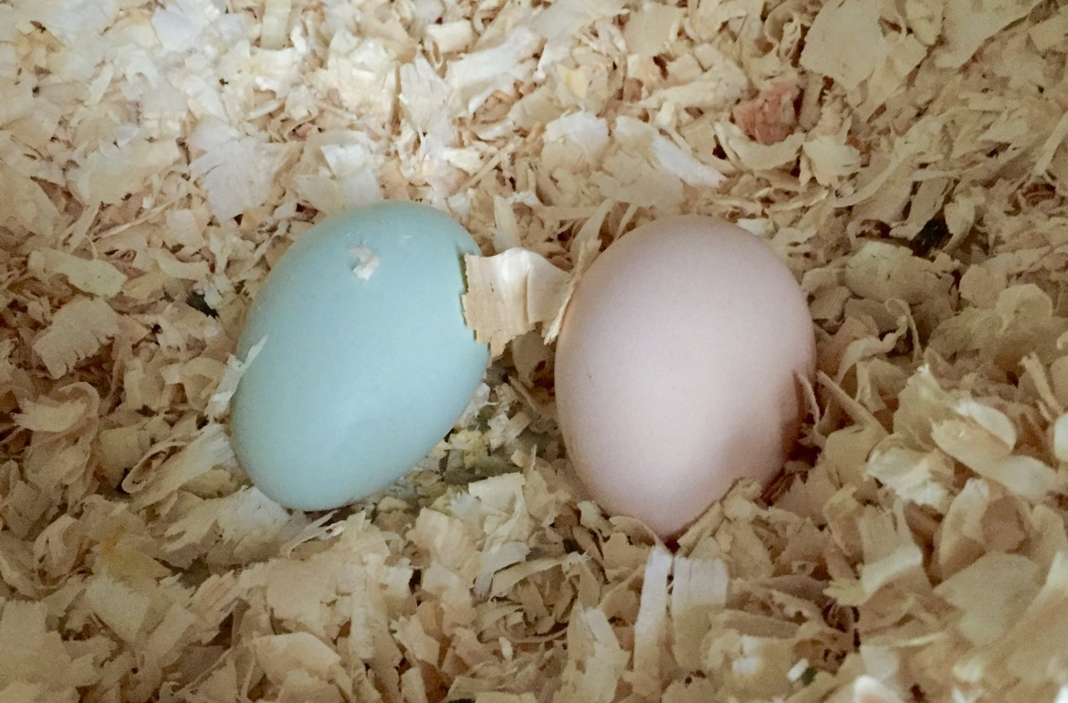 two eggs in one nesting box