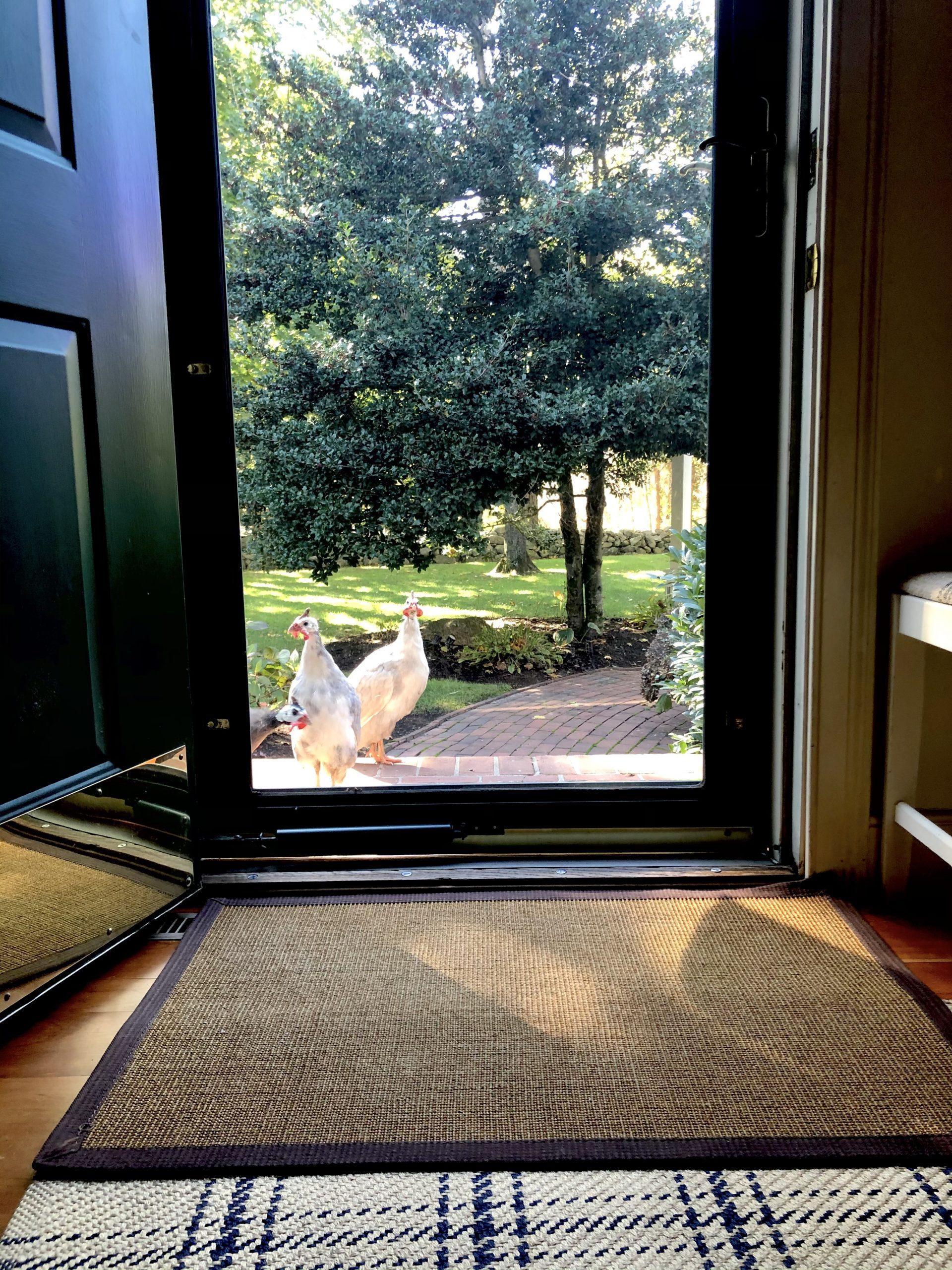 guinea hens peering into front door