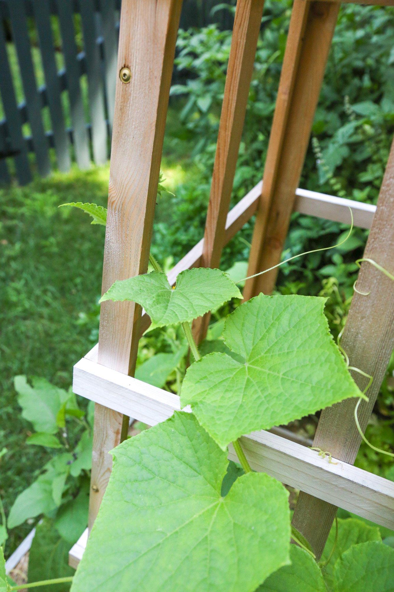 Tillys Nest- cucumber on trellis or obelisk