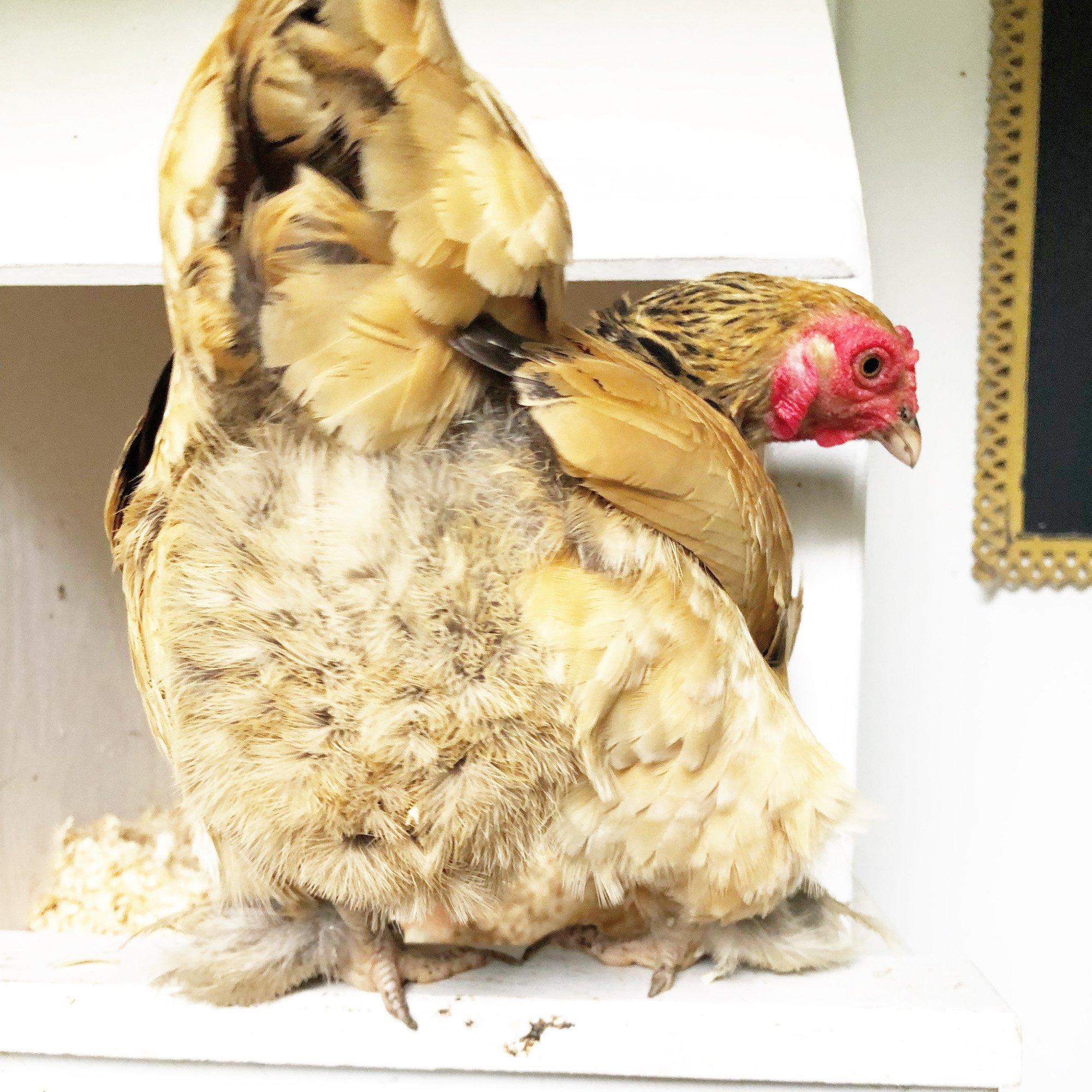 buff Brahma- Tilly's Nest