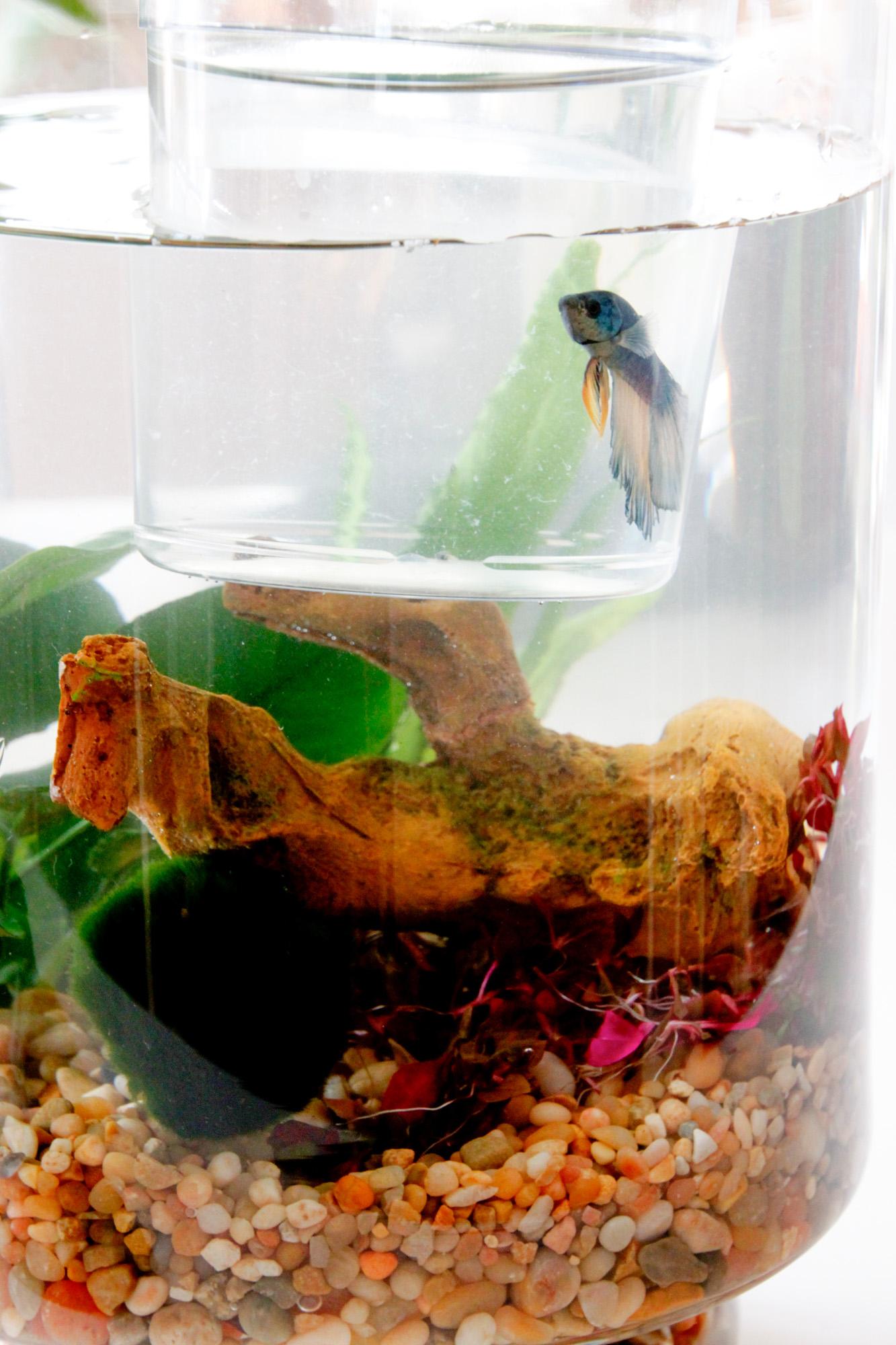 Diy indoor water garden tilly 39 s nest for Betta fish water change
