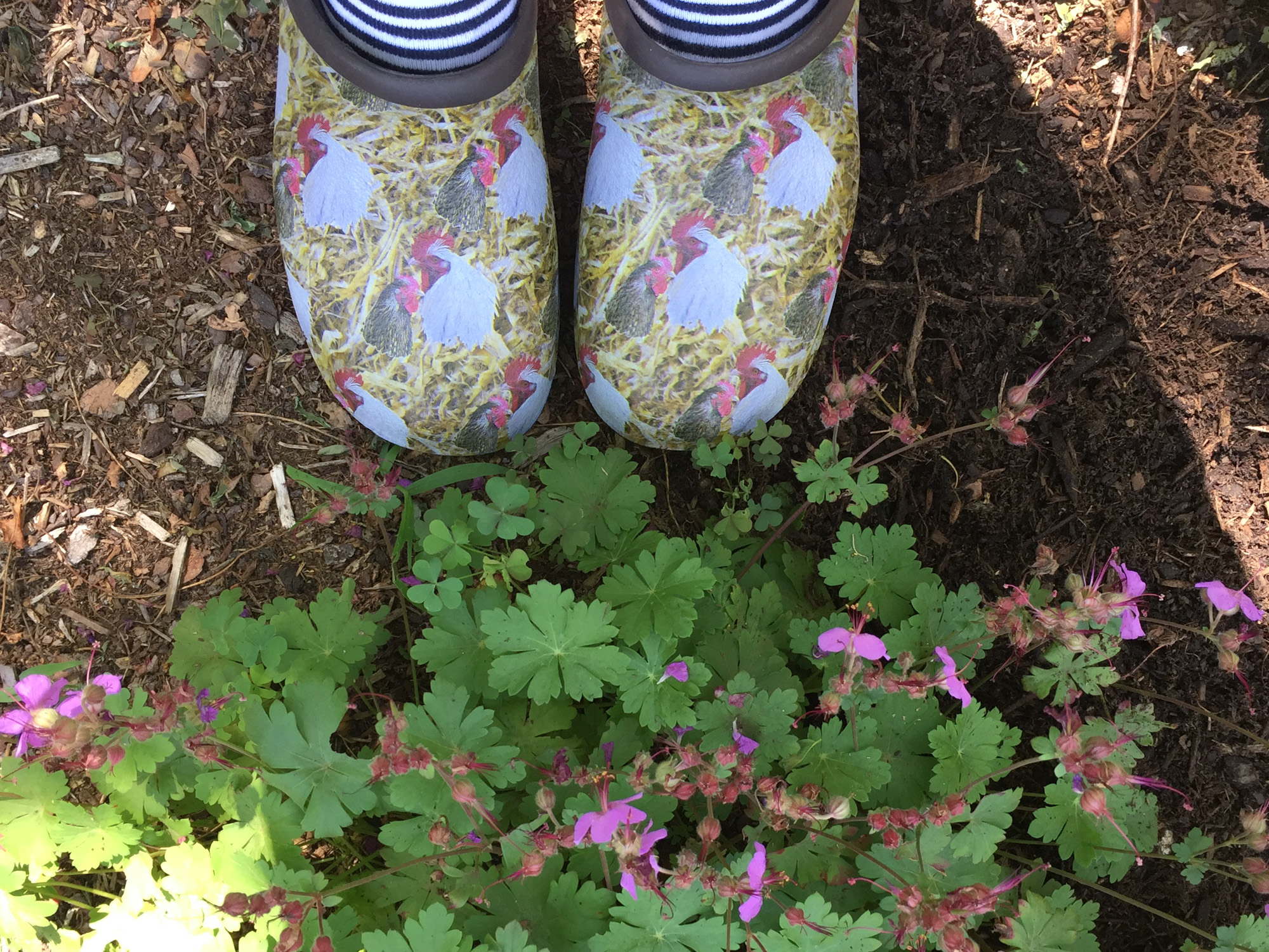 garden clogs with chickens