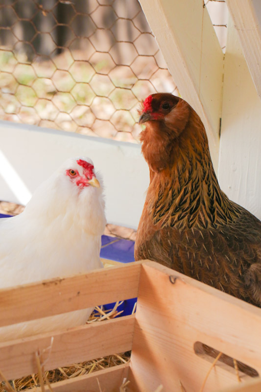original_caughey-melissa-chickensincoop belonging together