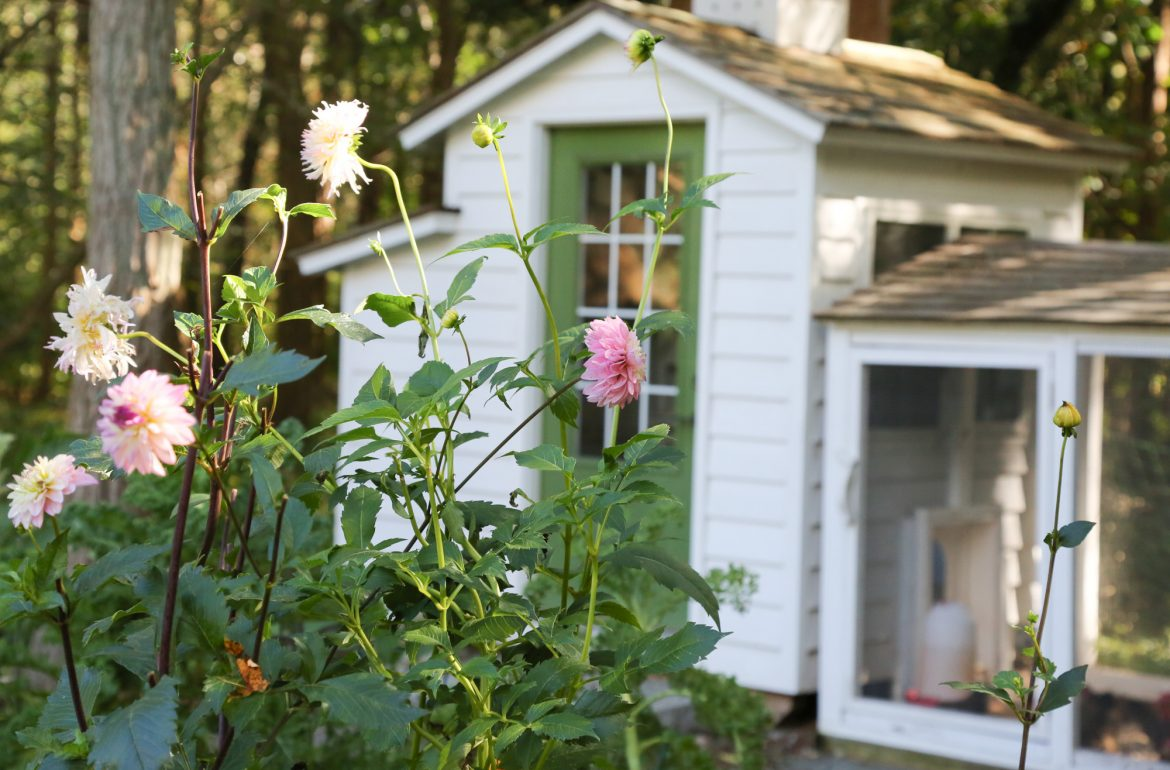 Fall Musings From The Chicken Coop And Gardens