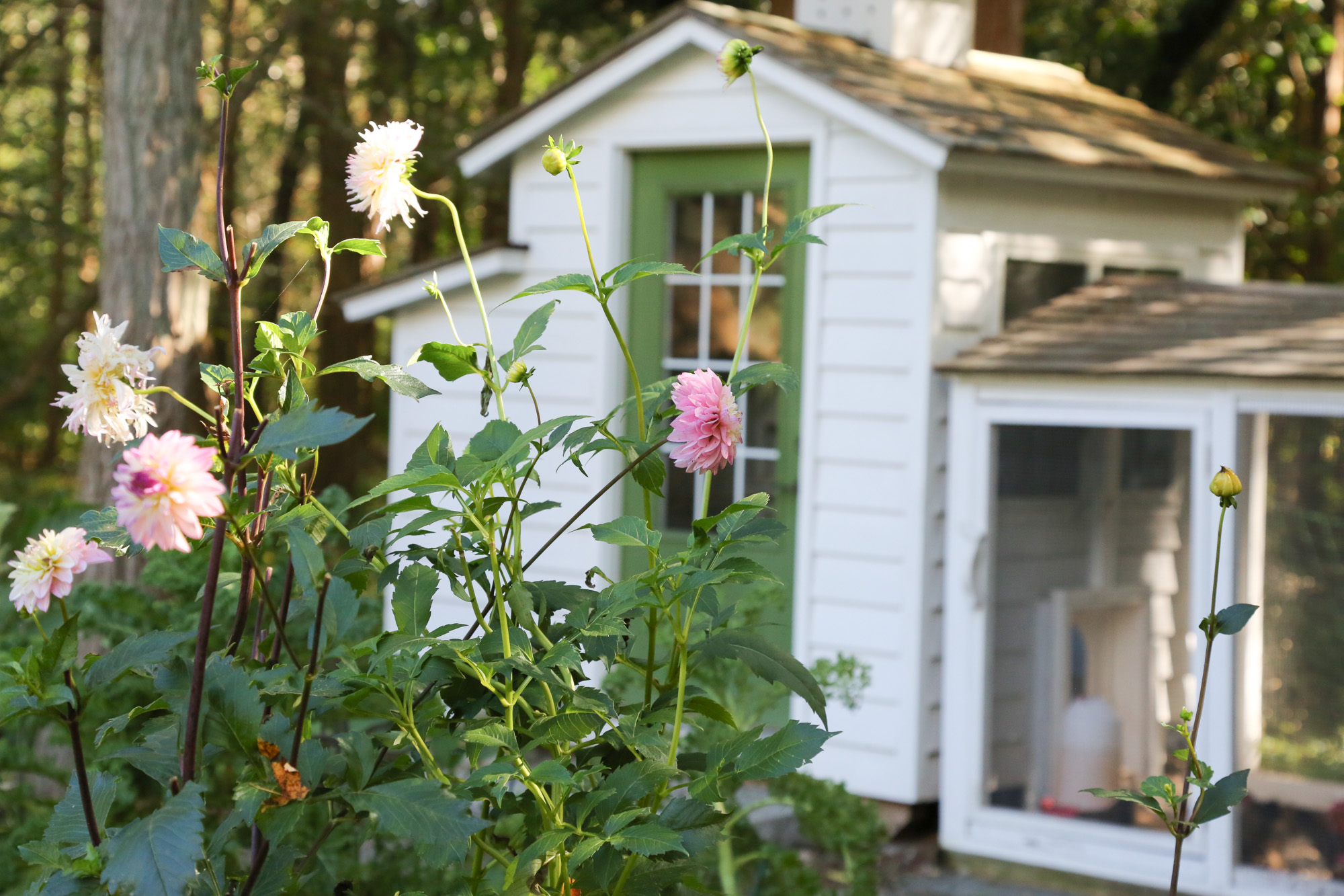 Fall Musings From The Chicken Coop And Gardens Tillys Nest - Chicken co op with flowers