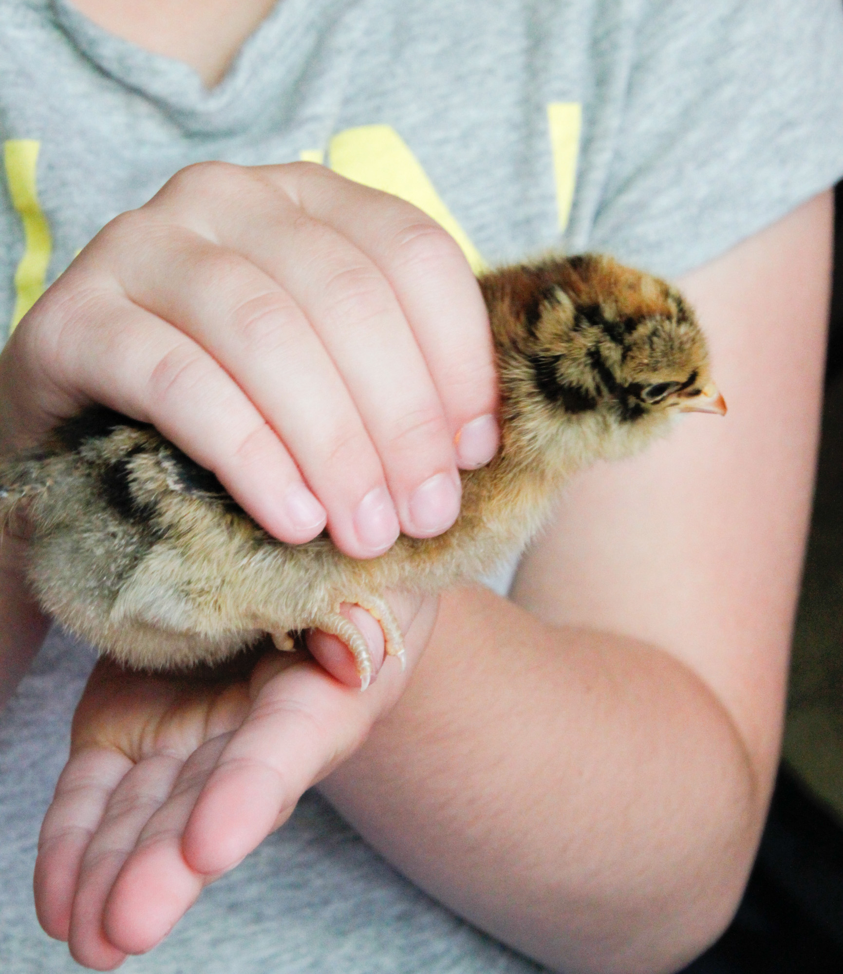 Selecting chicks- chick in hand Tillys Nest