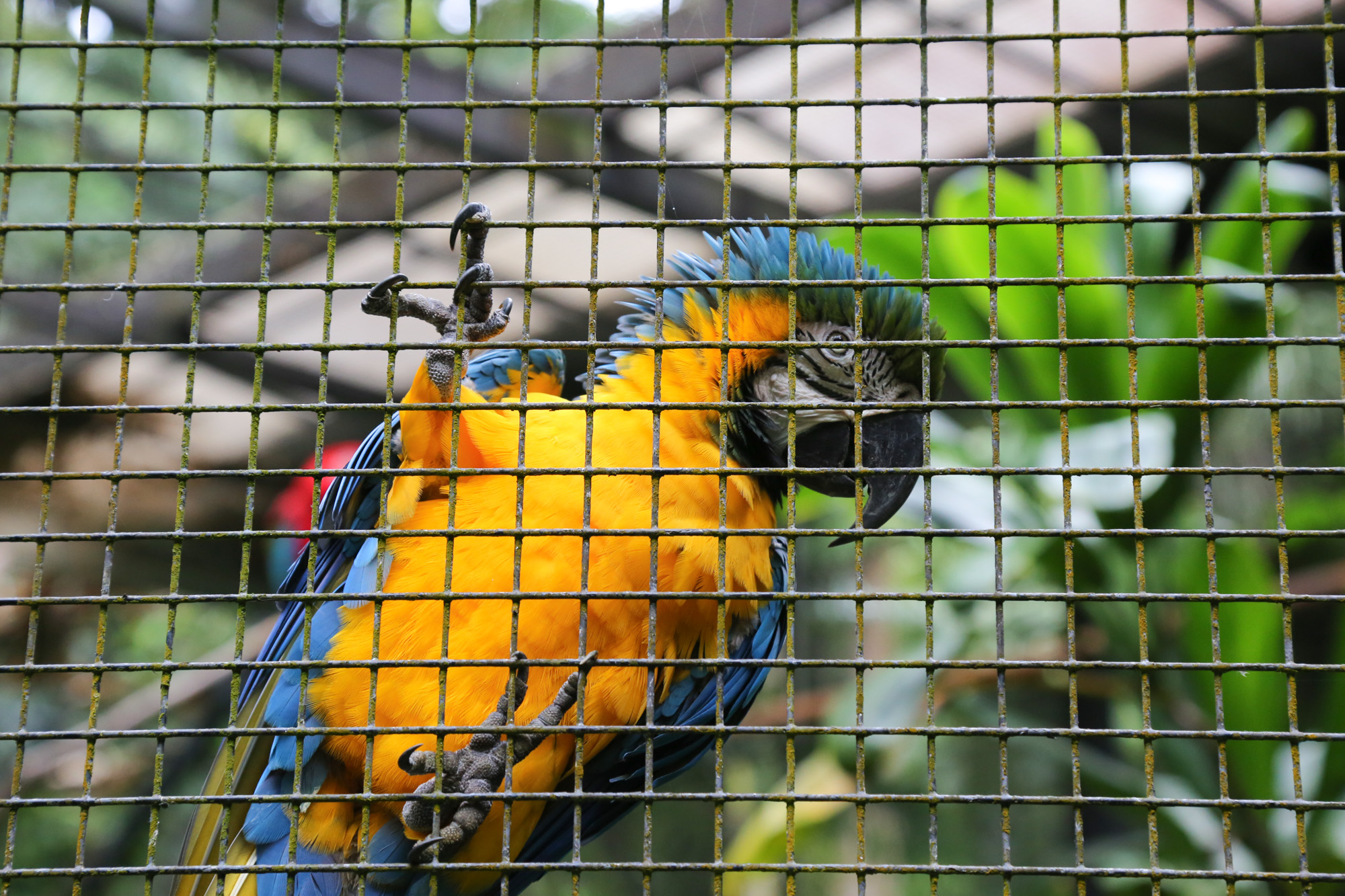 original_caughey-melissa-hawaii-garden-aviary-parrot