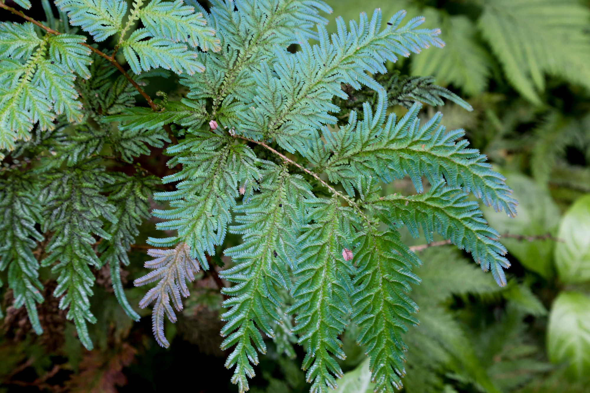 original_caughey-melissa-hawaii-garden-fern_