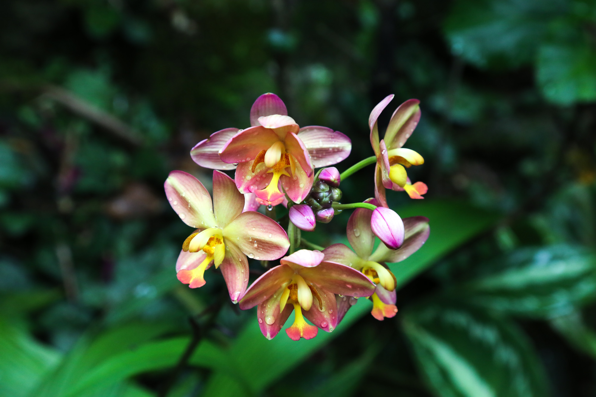 original_caughey-melissa-hawaii-garden-orchid-7
