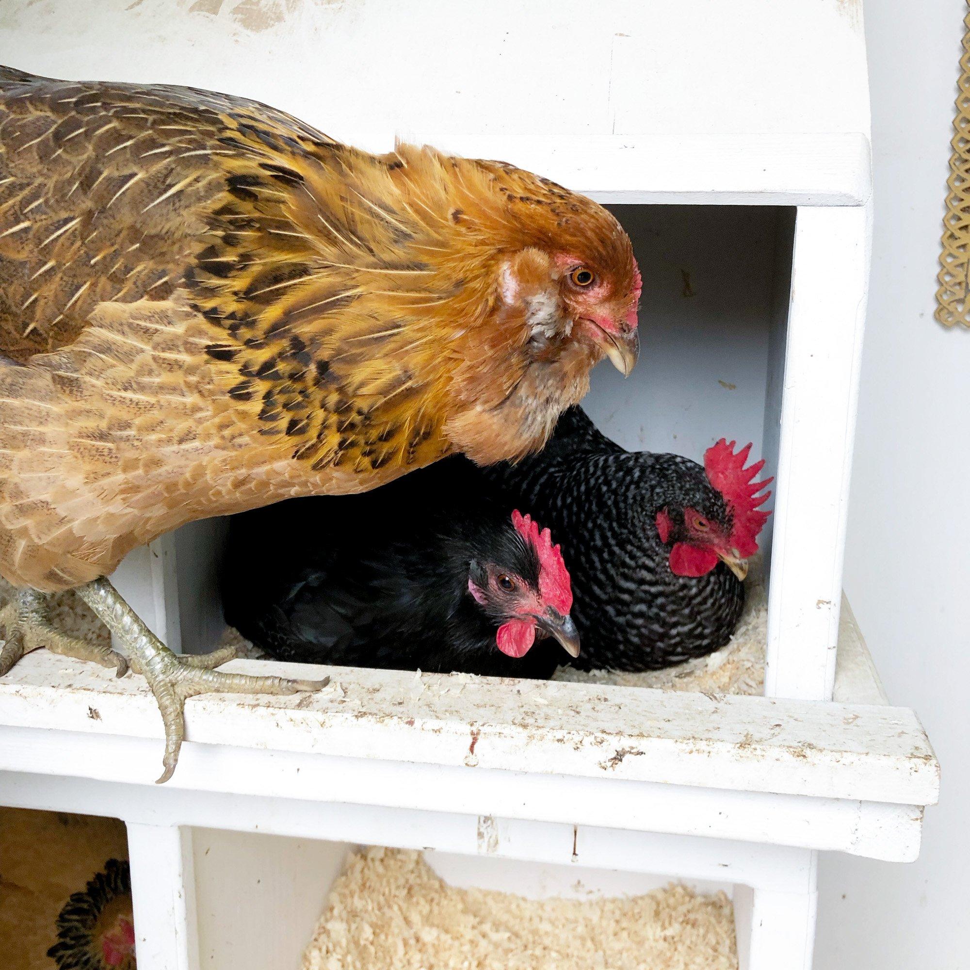 broody spring chickens Tillys Nest