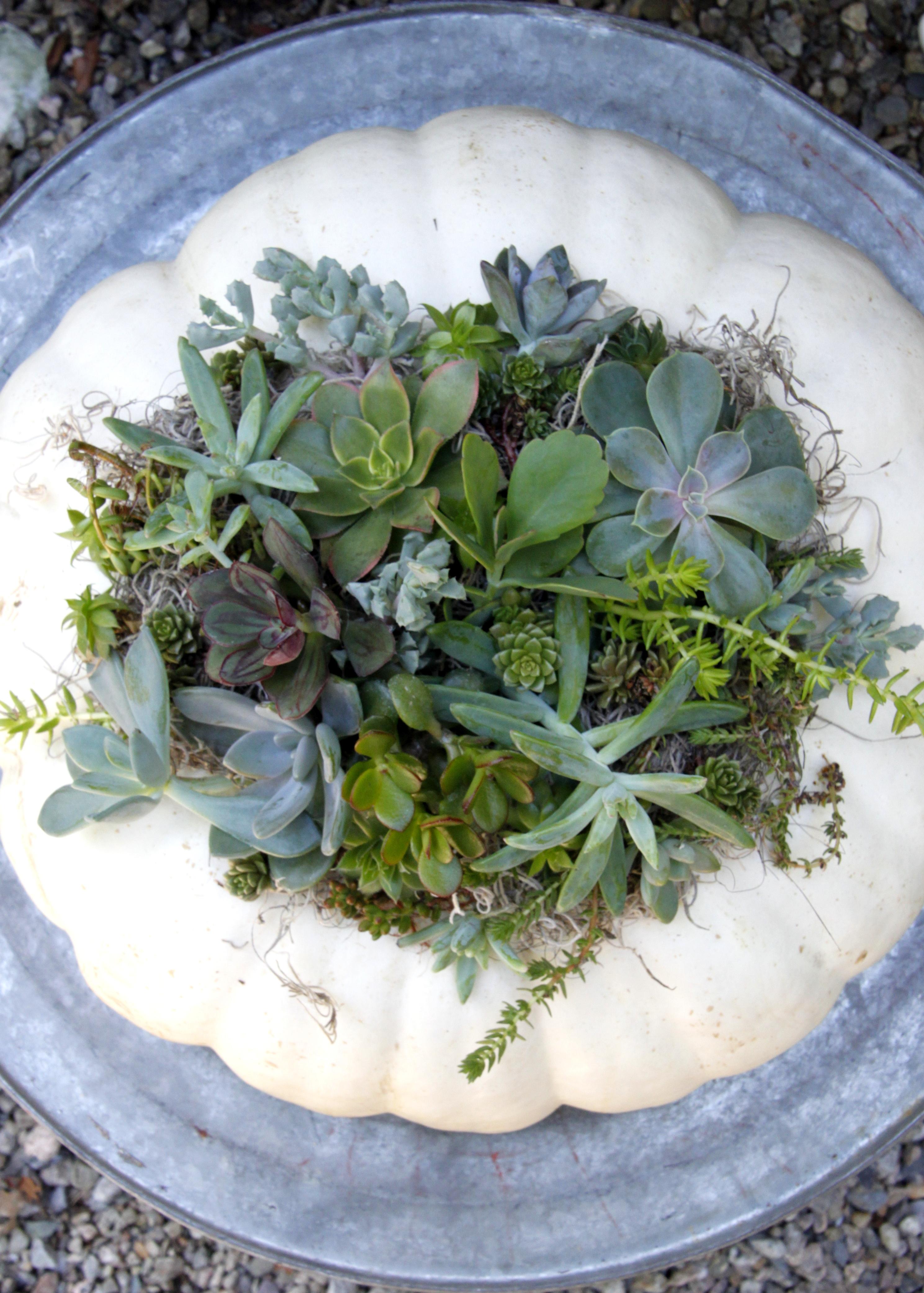 original_caughey-melissa-succulent-pumpkin-13 succulent topped pumpkins