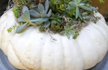 original_caughey-melissa-succulent-pumpkin-14