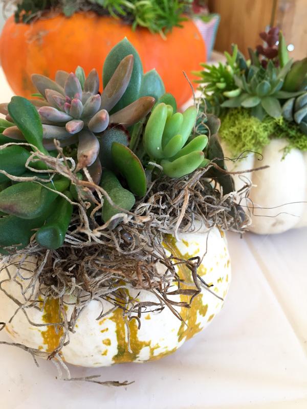 original_caughey-melissa-succulent-topped-pumpkins4