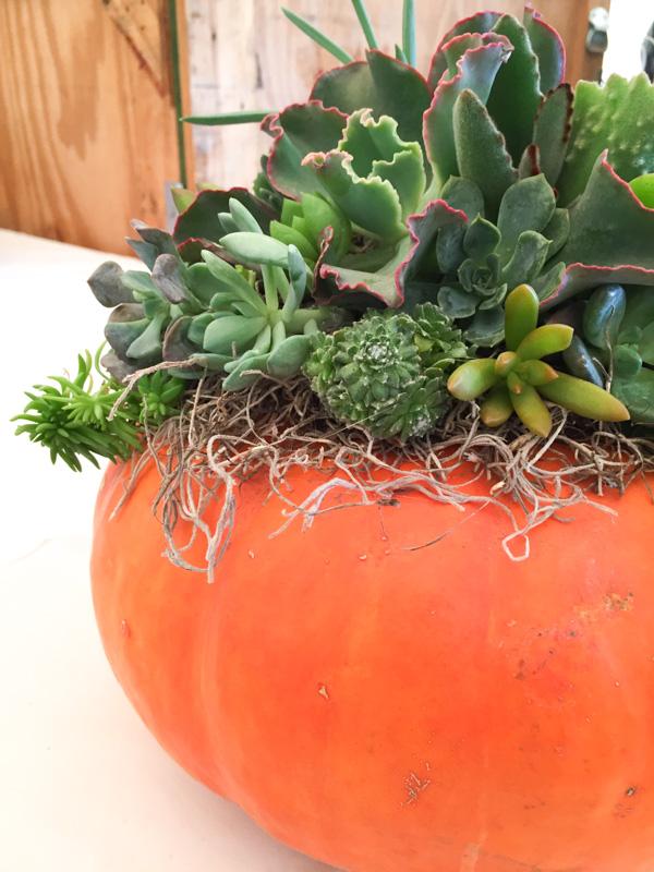 original_caughey-melissa-succulent-topped-pumpkins7