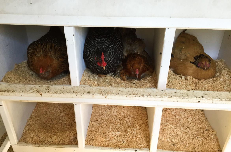 Original_Caughey-MelissaCaughey-chickens in nesting box