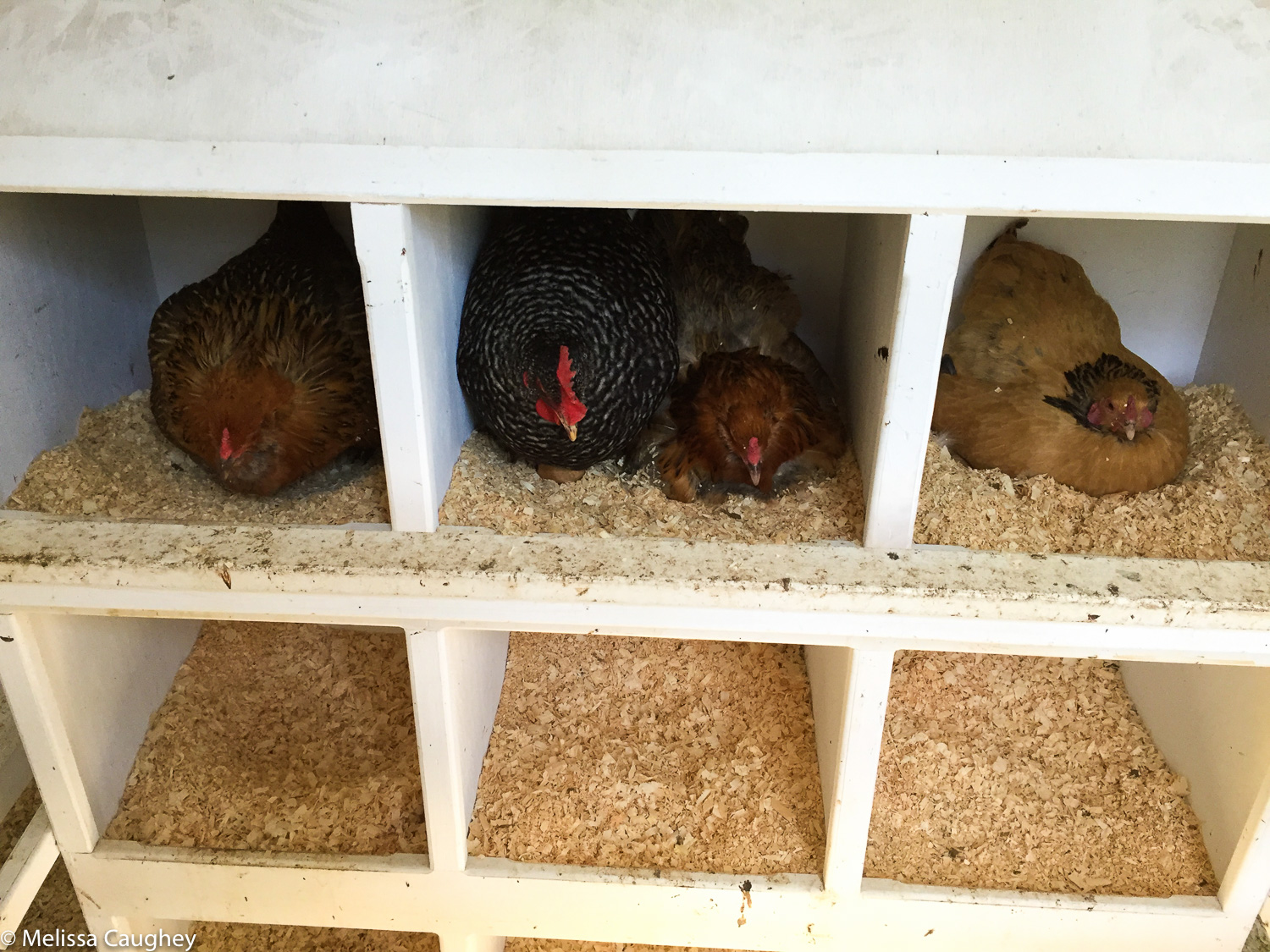 Original_Caughey-MelissaCaughey-chickens in nesting box chickens dusty