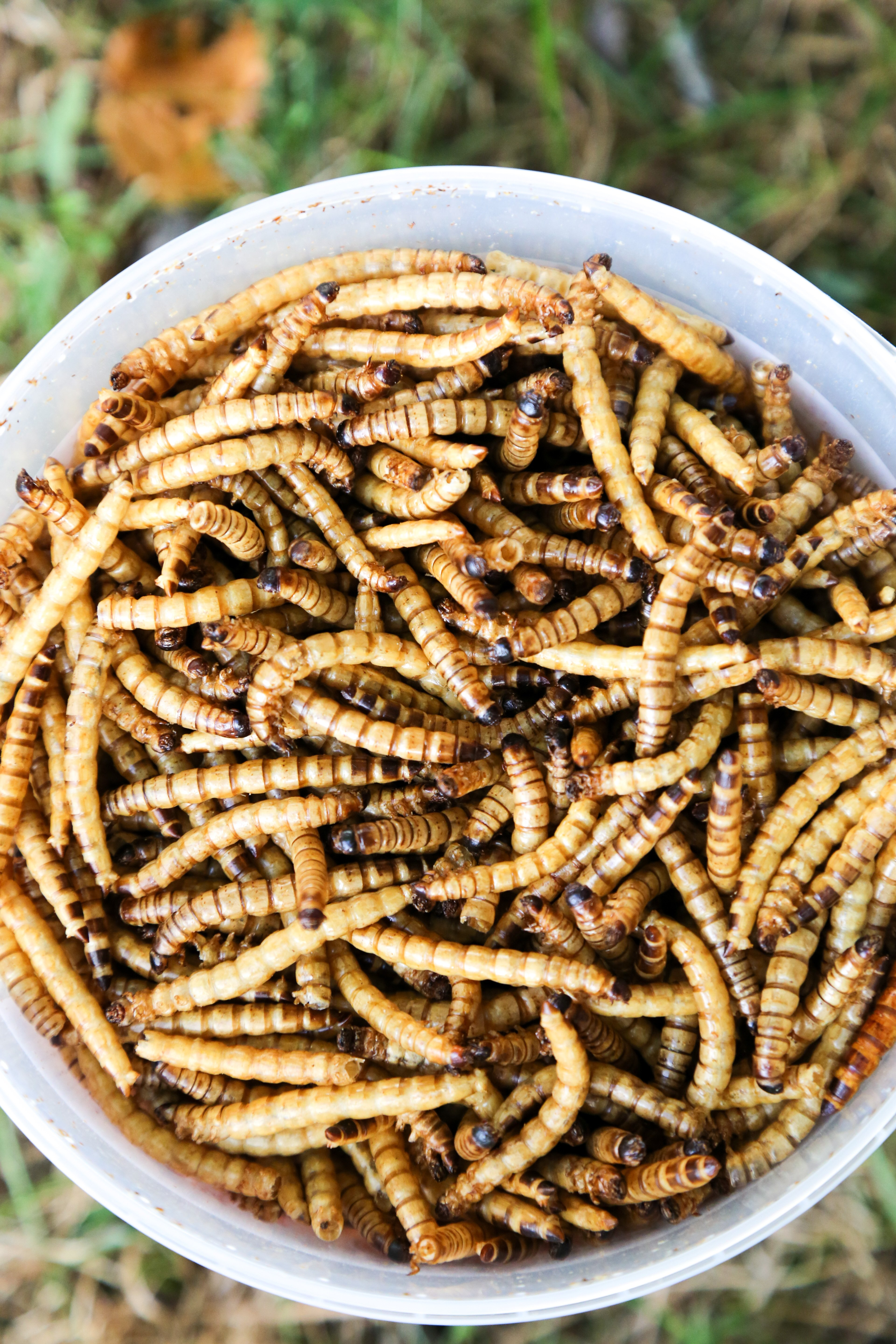 original_caughey-melissacaughey-chubby-mealworms-super-worms