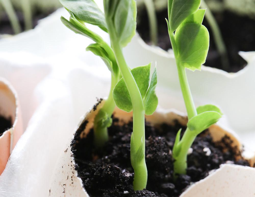Original_Caughey-MelissaCaughey-seedlings in eggshells 2