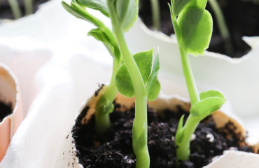 Original_Caughey-MelissaCaughey-seedlings in eggshells 2