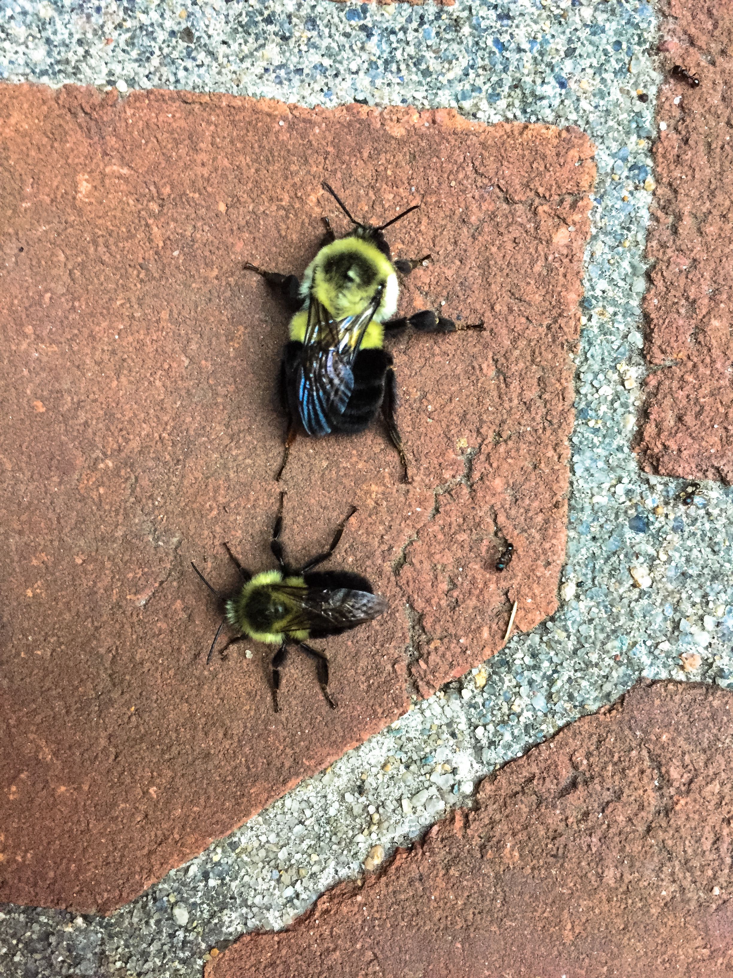 original_caughey-melissa_bumblebees-mating1