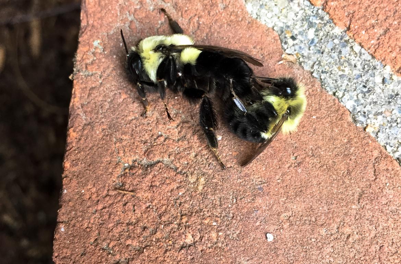 original_caughey-melissa_bumblebees-mating2