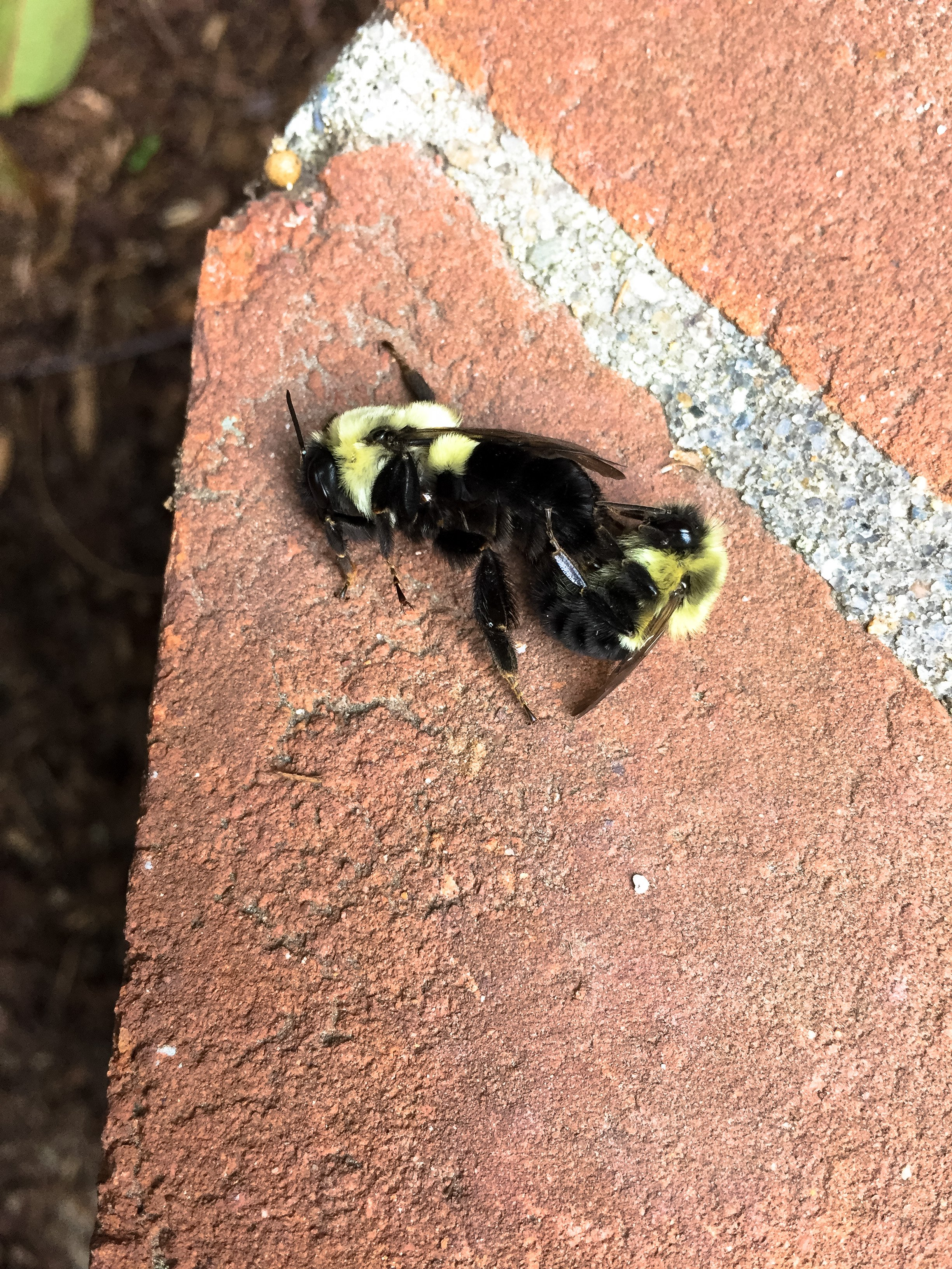 original_caughey-melissa_bumblebees-mating2
