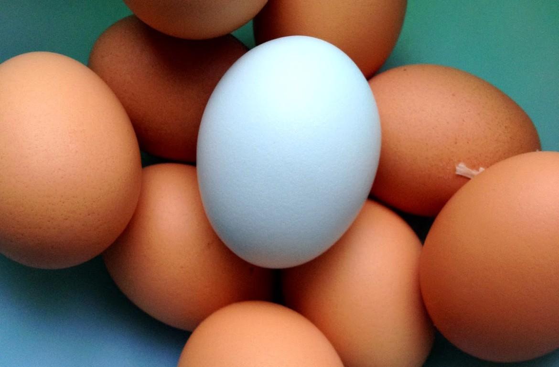 Tillys-Nest-Easter-Egger-blue-egg