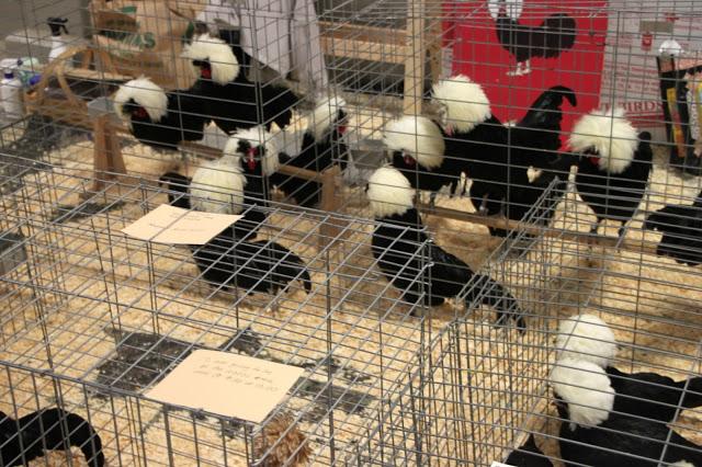 Tilly's Nest-Jan brettwp poultry show