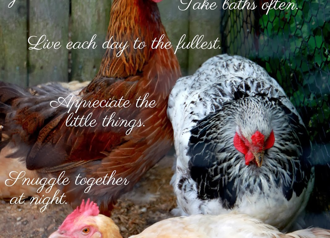 Tillys-Nest-Life-According-to-Chickens-001