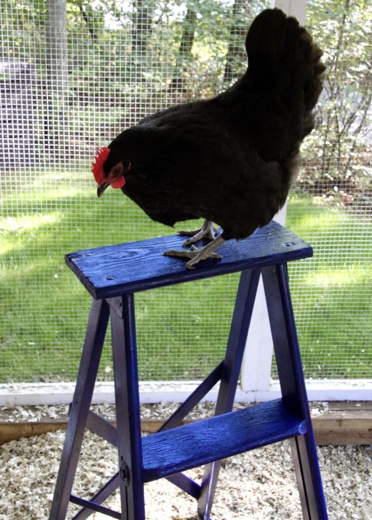 chicken run ladder