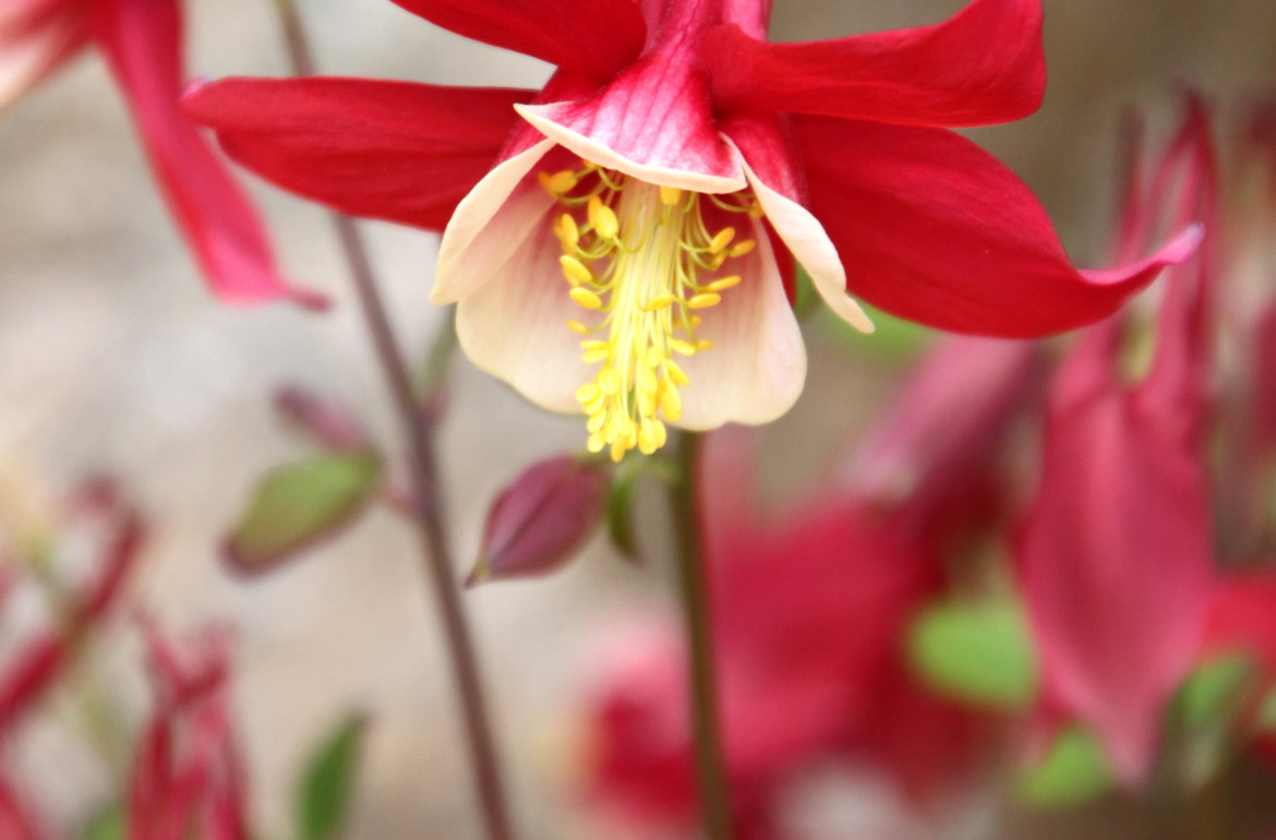 Tilly's Nest-columbine