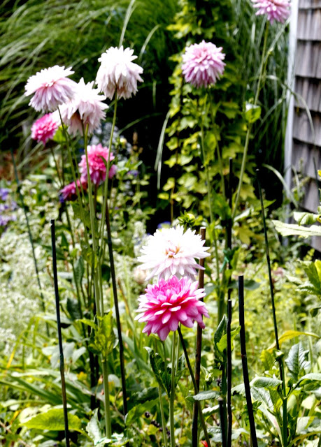 dahlias in the garden
