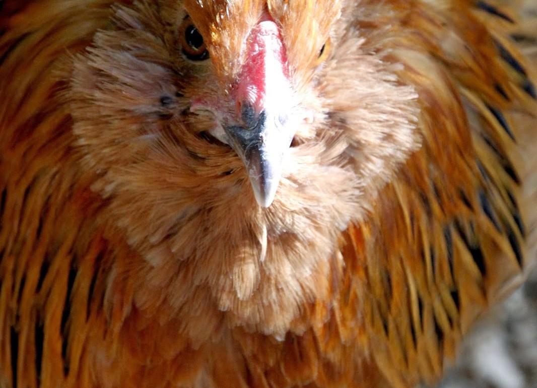 Tillys-Nest-easter-egger-hen-Fluffy