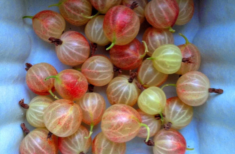 Tillys-Nest-gooseberries
