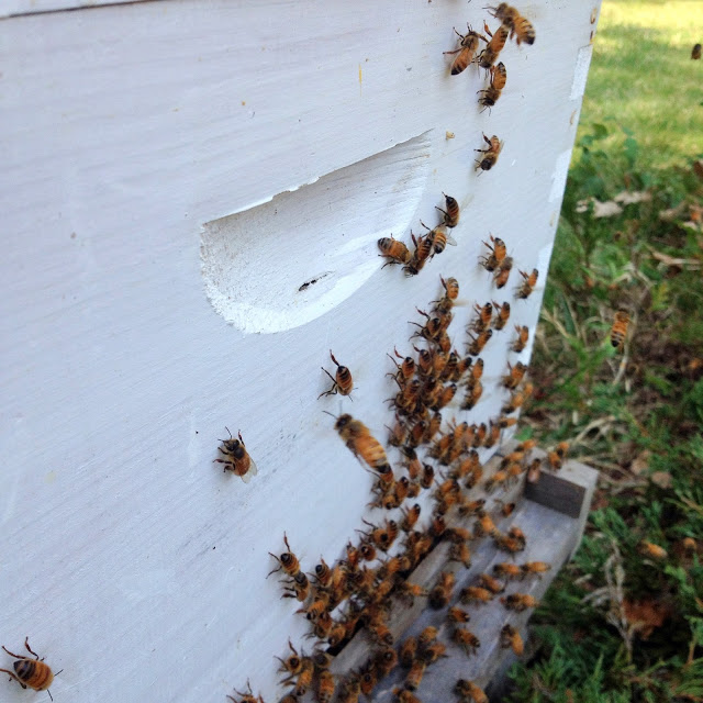 Tilly's Nest- honeybee swarm-001 (1)wp