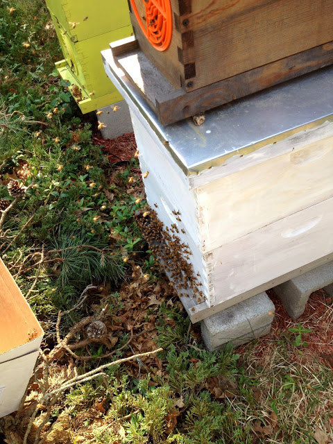 Tilly's Nest- honeybee swarm-002 (1)wp