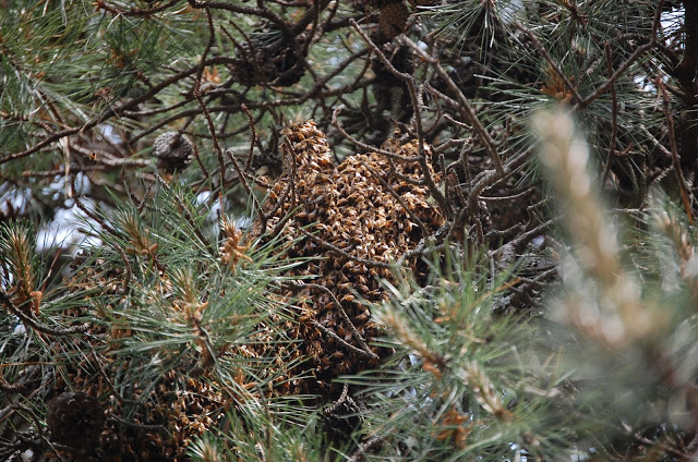 Tilly's Nest- honeybee swarm-003 (1)wp