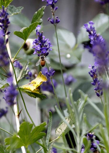 Tilly's Nest- honeybees on lavender-001wp